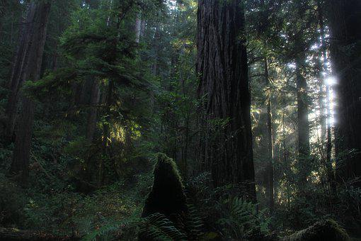California, Dawn, Forest, Trees, Mystical, Mysterious