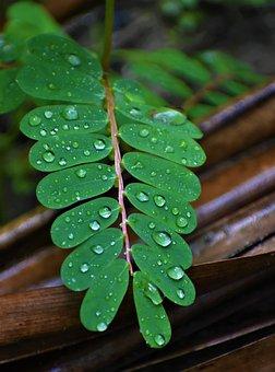 Leaf, Dew, Nature, Rain, Plant, Green, Water, Lotus