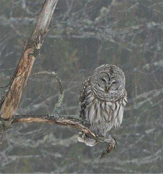 Barred Owl, Late Winter, Grey, Woods, Vermont, Wildlife