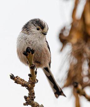 Long Tailed Tit, Bird, Wildlife, Tit, Songbird, Animal