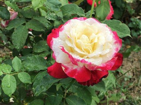 Roses, Garden, Bloom, Blossom, Plant, Nature, Flowers