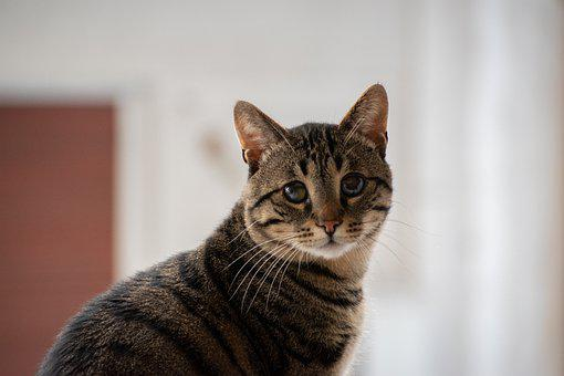 Cat, Pet, Animal, Feline, Cute, Mammal, Portrait