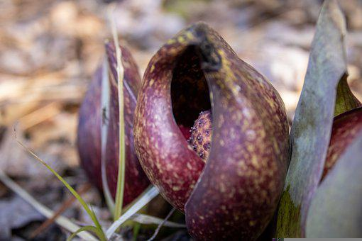Skunk Cabbage, Plant, Green, Purple