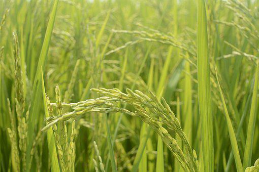 In Rice Field, Rice, Rice Field, Paddy, Food, Green
