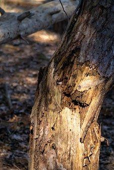 Tree, Snapped, Bark, Trunk, Broke