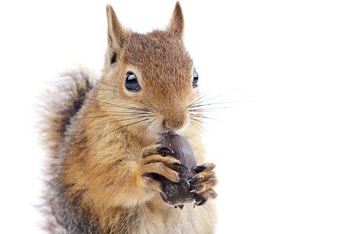 Squirrel, Wild Animal, Rodent, Animal, Feed, Acorn