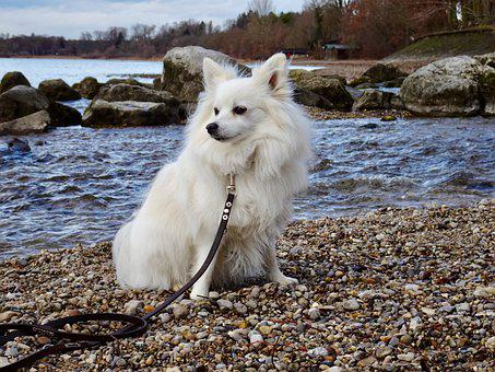 Dog, Pointed, Water, Dwarf Spitz, Pet