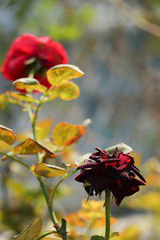 Flower, Rose, Red, Pink, Blossom, Wedding, Plant