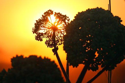 Angelica, Medicinal Plant, Umbel, Wild Plant, Sunrise