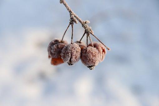 Frozen Apples, Winter, Snow, Nature, Landscape, Cold