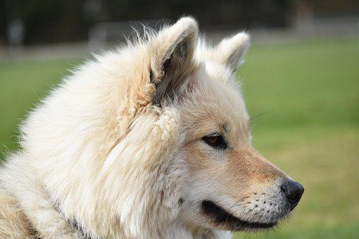 Eurasier, Female Bitch, Doggie, Canine, Animal