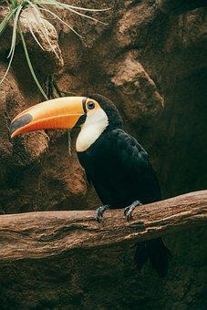 Bird, Toucan, Zoo, Nature, Beak, Animal, Brazil