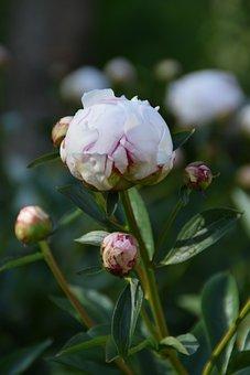 Flower, Rose, Peony, Pentecost, Blossom, Bloom, Nature