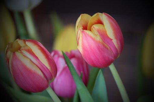 Tulips, Tulip Bouquet, Bouquet Of Flowers, Flowers