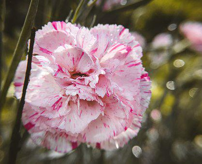 Dianthus, Dios, Carnation, A Rosy Pink Color