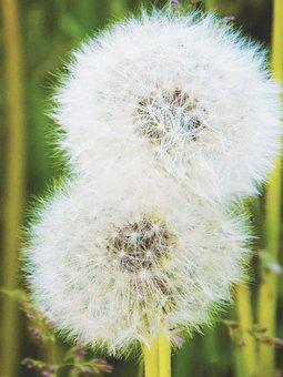 Dandelion, Plant, Seed Head, Seeds, Blowball, Fluffy