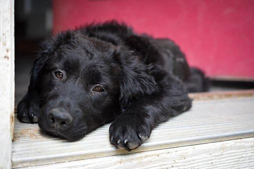 Dog, Puppy, Cute, Canine, Adorable, Pet, Happy, Sleepy