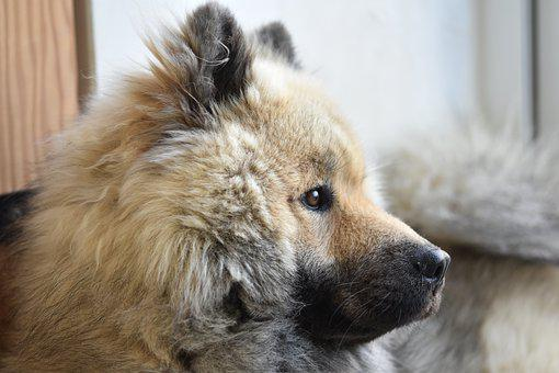 Eurasier, Eurasier Olaf Blue, Companion, Dog, Pet