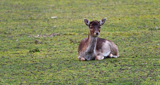 Fallow Deer, Cloven-hoofed Mammal, Animal