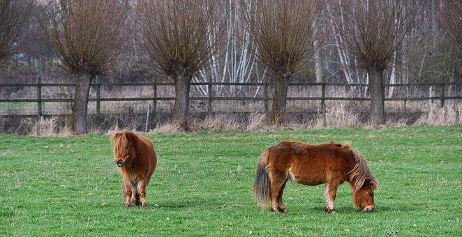 Pony, Small Horse, Horse, Mammal, Animal, Ungulate
