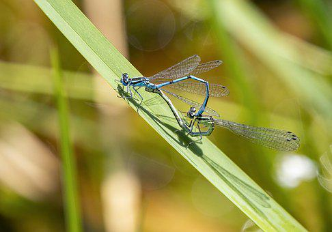 Damselfly, Pair, Mating, Spring, Reeds, Wings, Insect