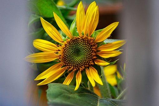Flower, Sunflower, Yellow Flower, Petals, Yellow Petals