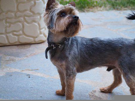 Dog, Home, Puppy, Yorkshire Terrier, Animal, Pet, Cute