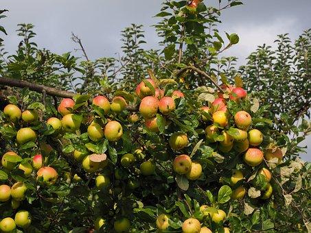 Apple, Fruit, Red, Fresh, Apple Tree, Healthy, Vitamins