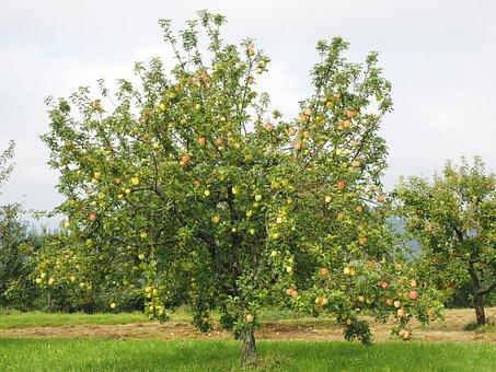 Apple Tree, Apple, Fruit, Red, Fresh, Healthy, Vitamins