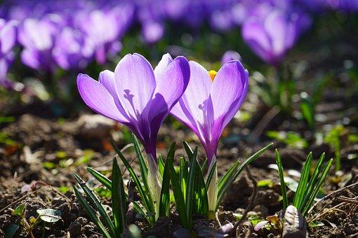 Crocus, Flowers, Purple, Violet, Back Light, Stamp
