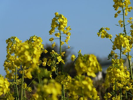 Mustard, Plant, Blossom, Cultivation, Yellow, Landscape