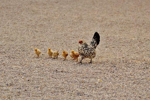 Chicks, Chicken, Hen, Dam, Small, Poultry, Young Animal