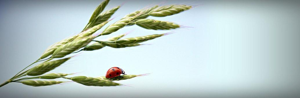Ladybug, Ear, Sky, Lucky Ladybug, Red, Points, Cereals