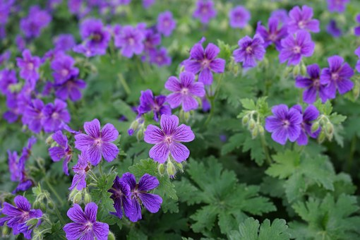 Cranesbill, Blütenmeer, Flowers, Blossom, Bloom, Flower