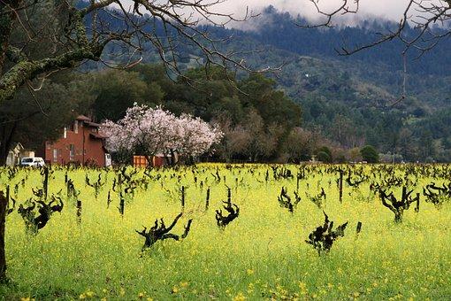 Flower, Vineyard, Mustard, Blossom, Blooming, Plant