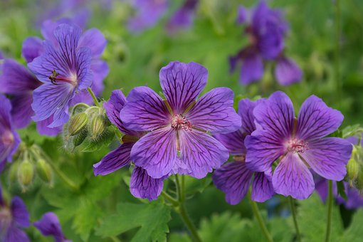Cranesbill, Blossom, Bloom, Stamp, Plant, Flower