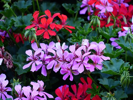 Flowers, Geranium, Plant, Purple, Red, Violet, Colorful