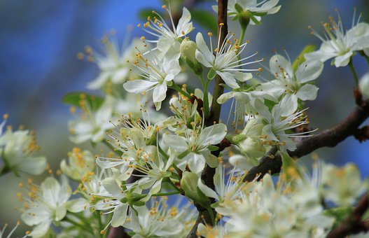 Blossom Branches, Flowers, Flowering Twig, Spring