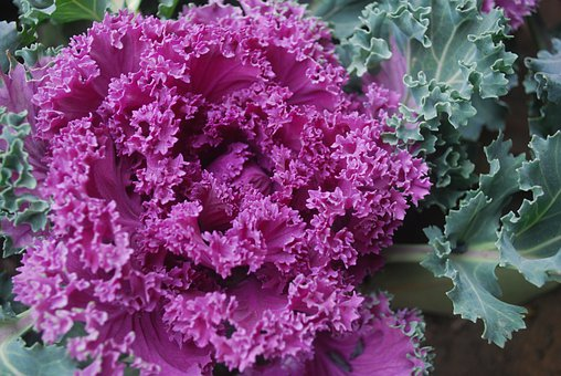 Ornamental, Cabbage, Plant, Kale, Fall, Gardening