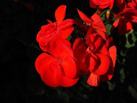 Geranium, Red, Plant, Flowers, Colorful