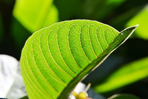 Guava Leaf, Sunlight, Fresh, New, Pure, Relax, Green