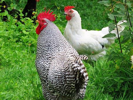Hahn, Hen, Gockel, Poultry, Feather, Cuckoo