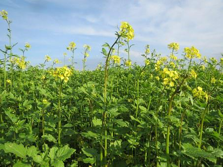 Mustard, Field, Crop, Agriculture, Herb, Spice, Food