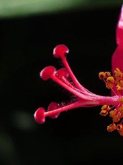 Stamp, Pollen, Hibiscus Flower, Blossom, Bloom