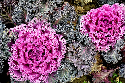 Ornamental Cabbage, Cabbage, Kale, Winter, Garden, Food