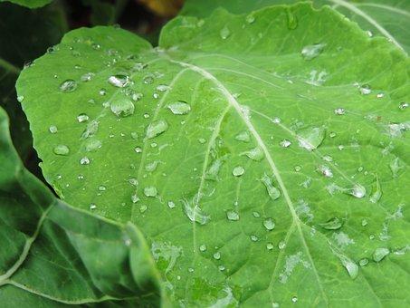 Kale, Leaf, Last Straw, Garden, Green