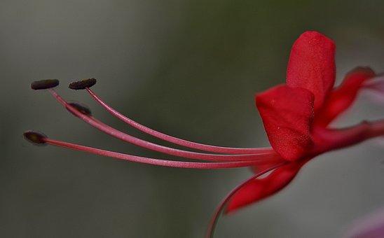 Hibiscus, Malvaceae, Ornamental Plant