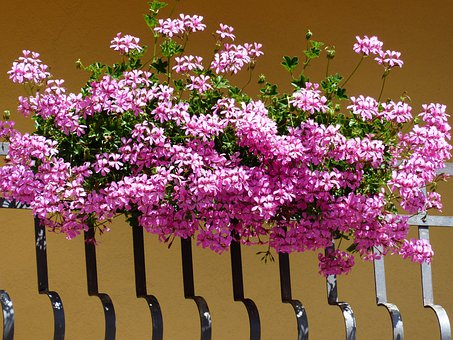 Geranium, Flowers, Pink, Ornamental Plant