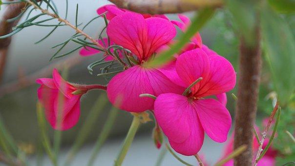 Geranium, Pink, Flower, Blossom, Bloom