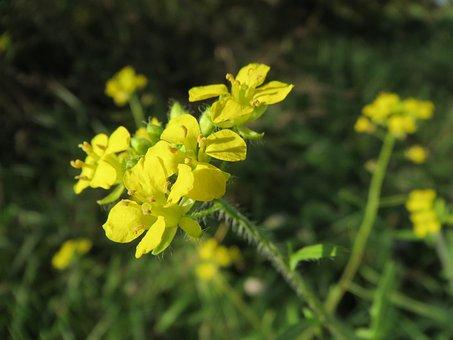 Sisymbrium Loeselii, Small Tumbleweed Mustard